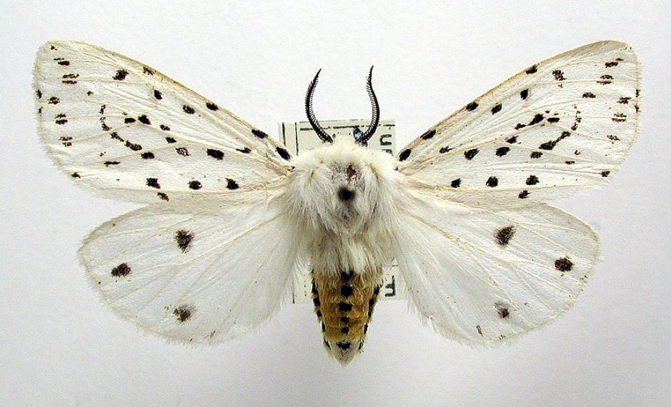 Figure 3: Spilosoma lubricipeda